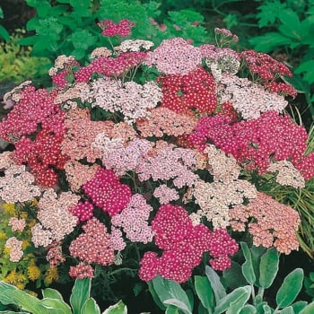 Mr. Fothergill's Seeds Achillea Summer Berries Seeds
