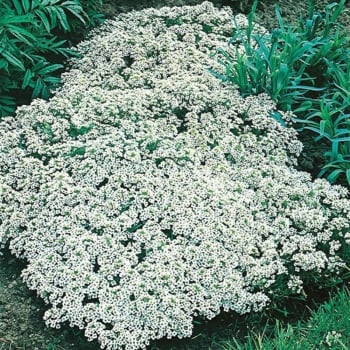Mr. Fothergill's Seeds Alyssum Snow Cloth Seeds
