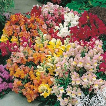 Mr. Fothergill's Seeds Antirrhinum Tom Thumb Mixed Seeds