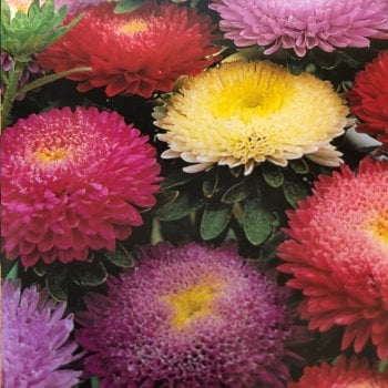 Mr. Fothergill's Seeds Aster Pompon Mixed