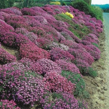 Aubrietia Cascade Mixed Seeds