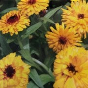 Mr. Fothergill's Seeds Calendula Bull's Eye