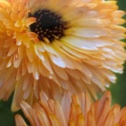 Mr. Fothergill's  Seeds Calendula Orange Flash