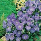 Campanula Blue (Bell Flower) Seeds