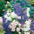 Canterbury Bells Cup & Saucer Mixed Seeds