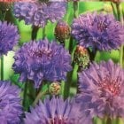 Mr. Fothergill's Seeds Cornflower Blue Ball
