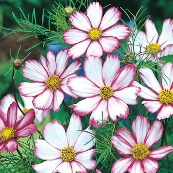 Mr. Fothergill's Seeds Cosmos Candy Stripe Seeds