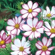 Cosmos Candy Stripe Seeds