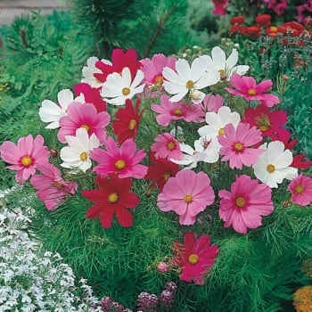 Mr. Fothergill's Seeds Cosmos Dwarf Sonata Mixed Seeds