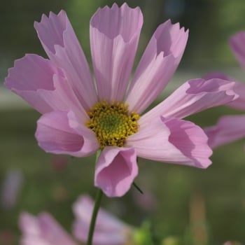 Mr. Fothergill's Seeds Cosmos Hummingbird Pink Seeds