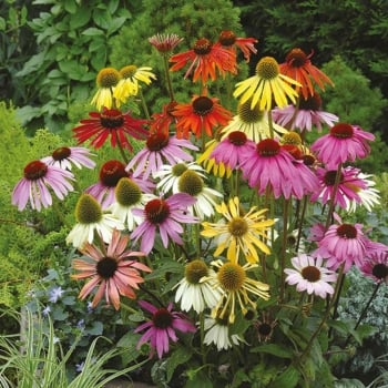 Mr. Fothergill's Seeds Echinacea Dreamcoat Seeds