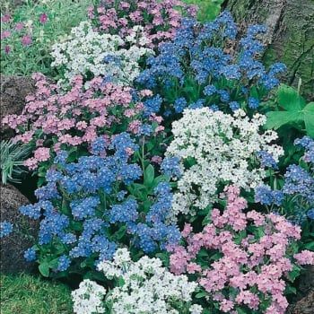 Mr. Fothergill's Seeds Forget Me Not Mixed Seeds