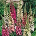 Foxglove Foxy Mixed Seeds