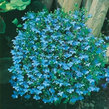 Mr. Fothergill's Seeds Lobelia Cambridge Blue Seeds