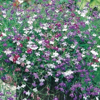 Mr. Fothergill's Seeds Lobelia Cascade Mix