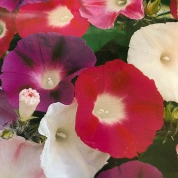 Mr. Fothergill's Seeds Morning Glory Choice Mixed