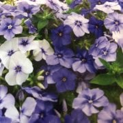 Mr. Fothergill's Seeds Phlox Moody Blues