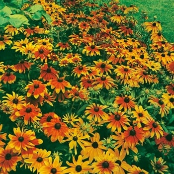 Mr. Fothergill's Seeds Rudbeckia Rustic Dwarf Mixed Seeds