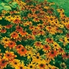 Rudbeckia Rustic Dwarf Mixed Seeds