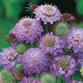 Mr. Fothergill's Seeds Scabious Blue Cushion Seeds