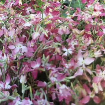 Mr. Fothergill's Seeds Stock Night Scented