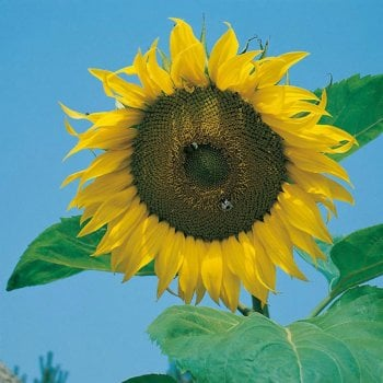 Mr. Fothergill's Seeds Sunflower Giant Single