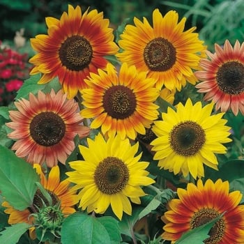 Mr. Fothergill's Seeds Sunflower Sunburst Seeds