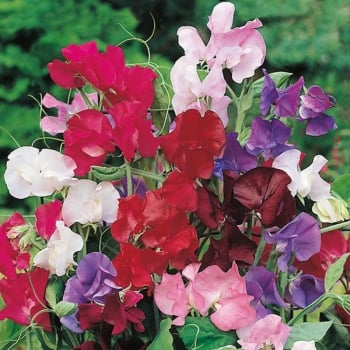 Mr. Fothergill's Seeds Sweet Pea Bouquet Mixed Seeds