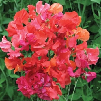 Mr. Fothergill's Seeds Sweet Pea Summer Sizzler Seeds