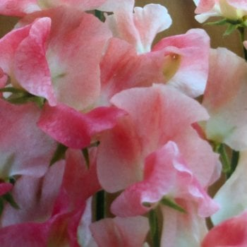 Mr. Fothergill's Seeds Sweet Pea Terry Wogan