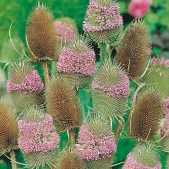Mr. Fothergill's Seeds Teasel Seeds