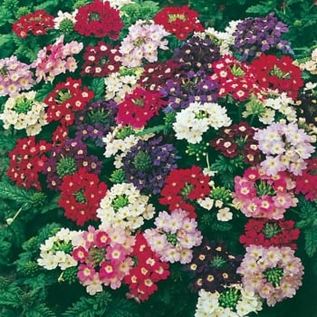 Mr. Fothergill's Seeds Verbena Compact Mixed Seeds