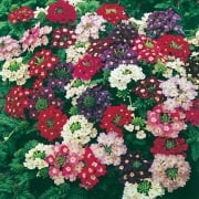 Verbena Compact Mixed Seeds