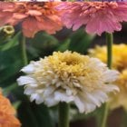 Mr. Fothergill's Seeds Zinnia Peaches & Cream
